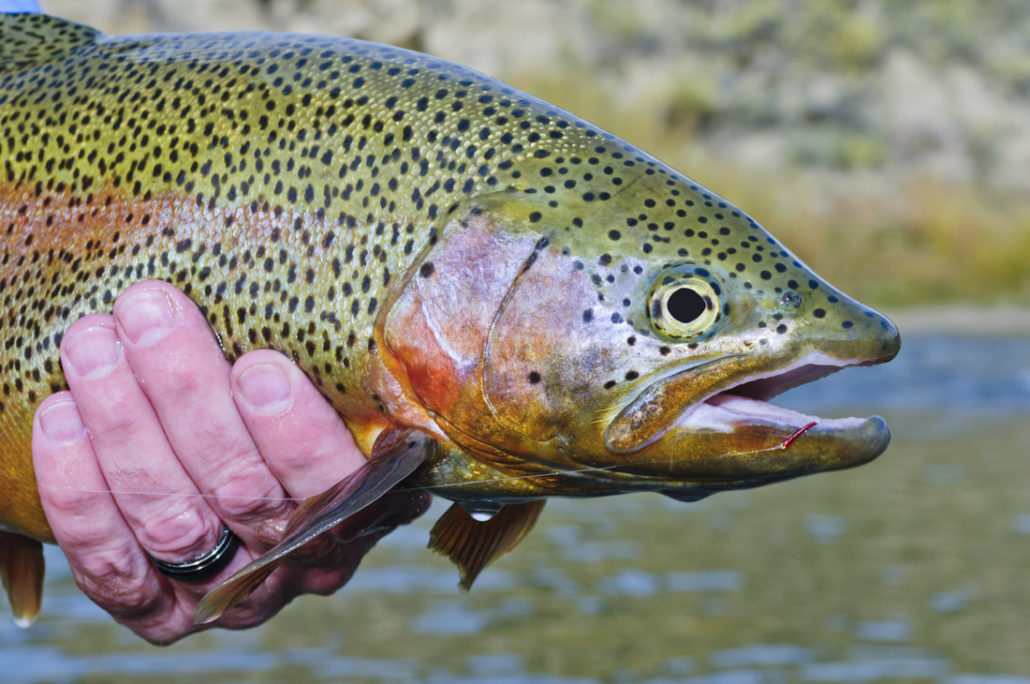 Colorado Rainbow fooled with a red midge larva in the winter